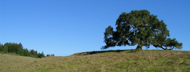 Meadow Oak